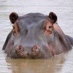 Hipopótamo - Taller Biodanza y Cuatro Animales